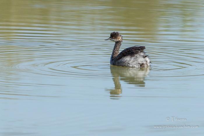 Grèbe à cou noir-Domaine des oiseaux 06.09.2015
