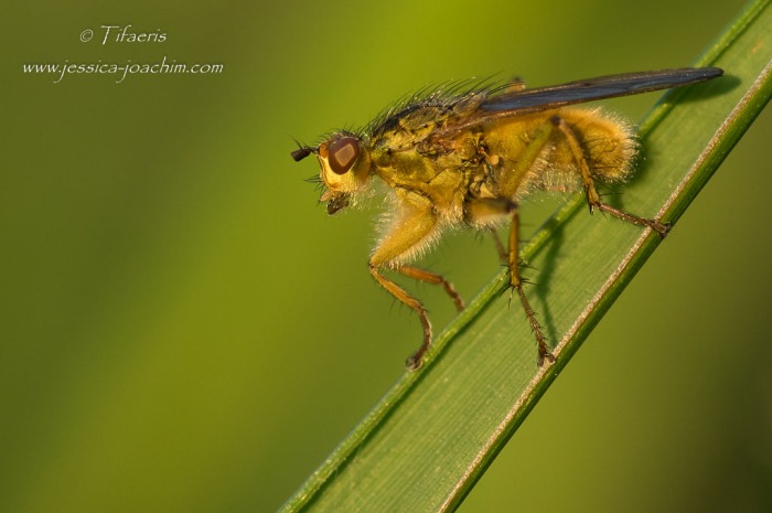 Scatophage du fumier (Scathophaga stercoraria)♂
