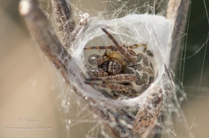 Larinioides cornutus, Larinioides suspicax-folium-Domaine des oiseaux 06.04.2015