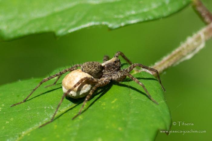 Pardosa sp 2
