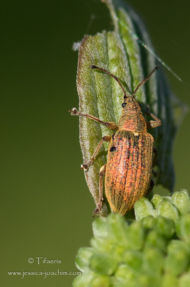 Phyllobe du poirier