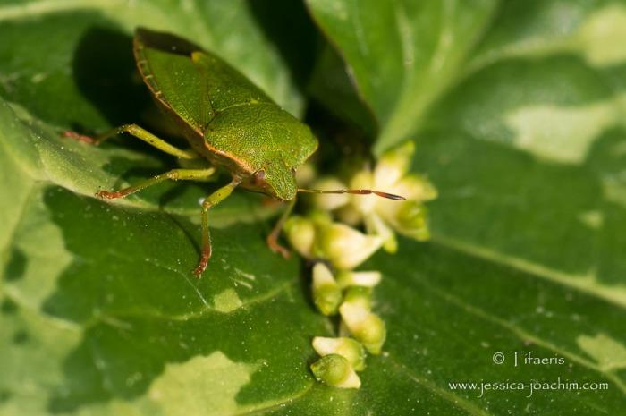 Punaise verte (Palomena prasina) 2