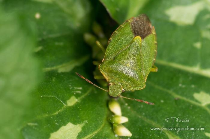 Punaise verte (Palomena prasina)