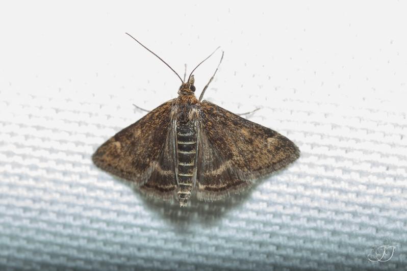 Pyrausta despicata-Soirée papillons DDO 22.04.2016