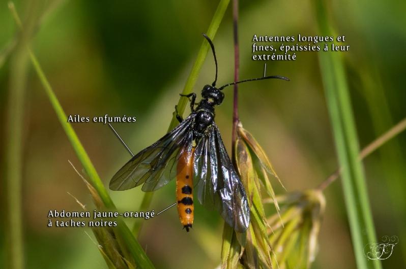 Calameuta pygmaea