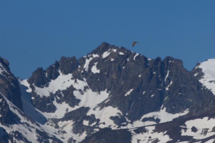 Coucou gris-Plateau de Beille 16.05.2016