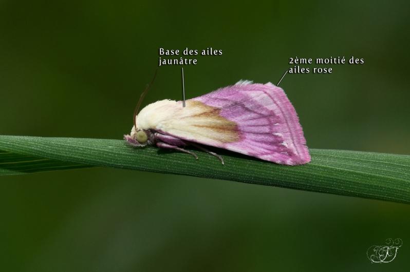 Eublemma purpurina