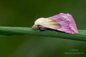 Noctuelle purpurine 2