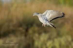 Pigeon colombin-Domaine des oiseaux 24.10.2014