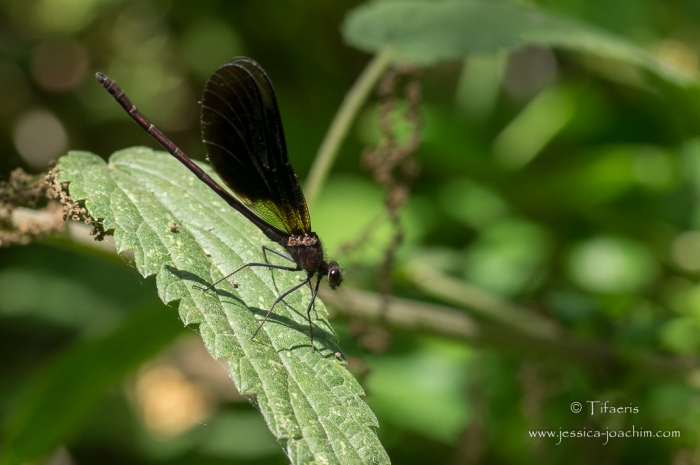 Caloptéryx hémorroïdal-Domaine des oiseaux 04.07.2015