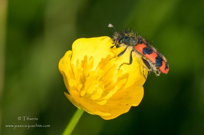 Clairon des ruches-Domaine des oiseaux 29.04.2015