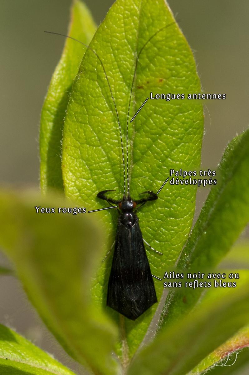 Mystacides azureus-nigra