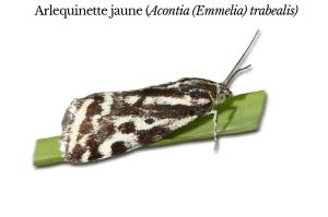 acontia-emmelia-trabealis