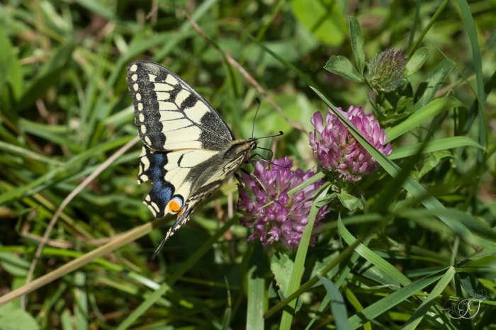 Machaon-Sinsat 16.05.2016