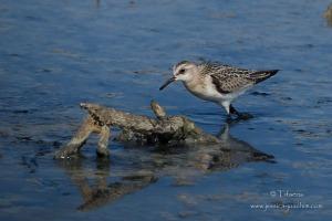 Bécasseau sanderling-Réserve ornithologique du Teich 18.08.2014