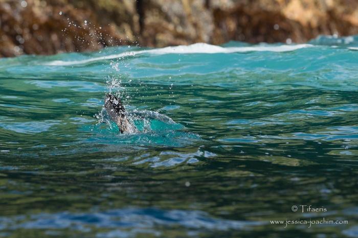 Cormoran huppé-île de Runde 14.08.2015
