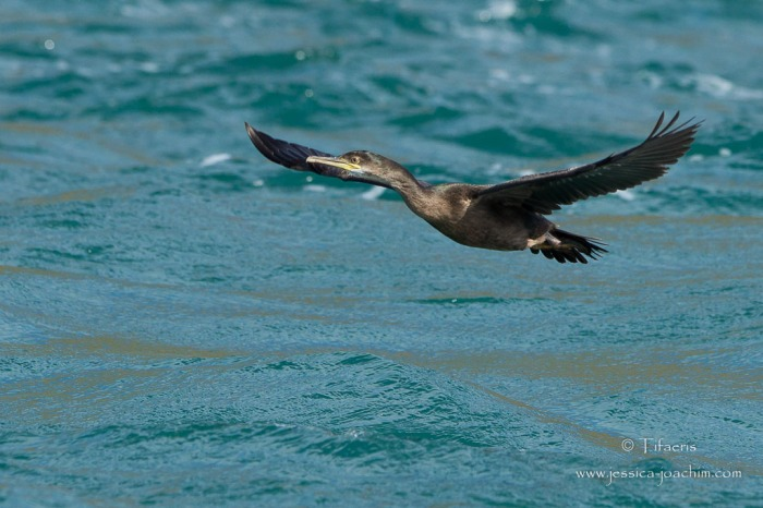 Cormoran huppé-Bretagne, Archipel des 7 îles, 12.08.2014