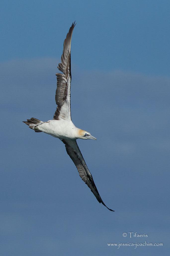 Fou de Bassan-Bretagne, Archipel des 7 îles, 12.08.2014