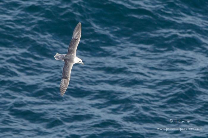 Fulmar boréal-Bretagne, Cap Sizun, 09.08.2014