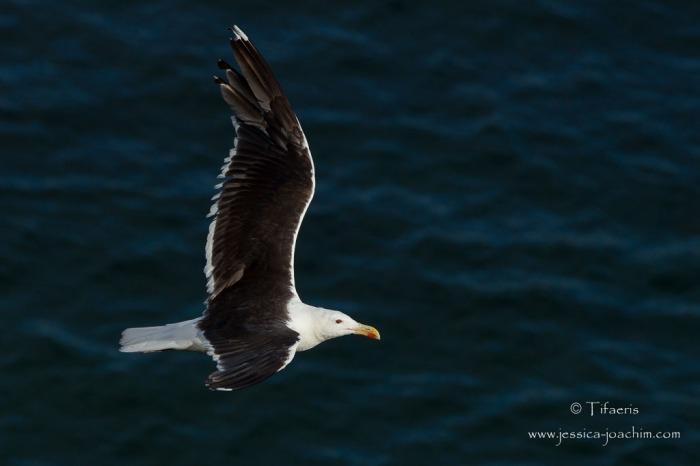 Goéland marin-Bretagne, Le Conquet, 15.08.2014