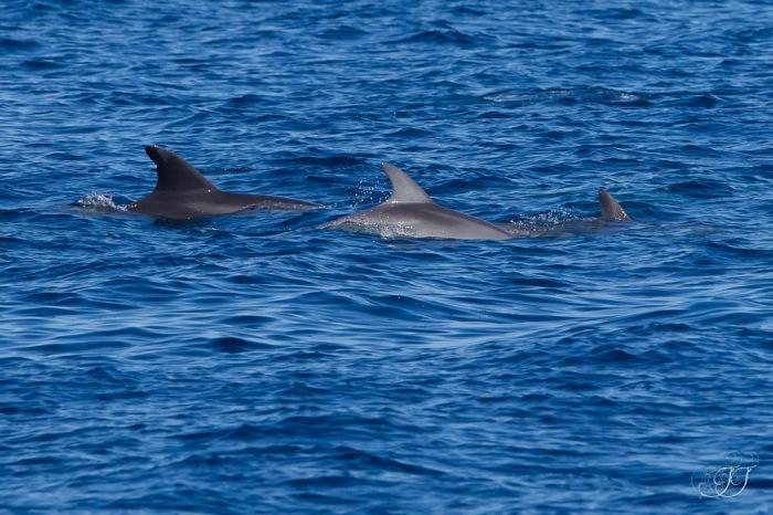 Grand dauphin-Canet en roussillon 05.05.2016
