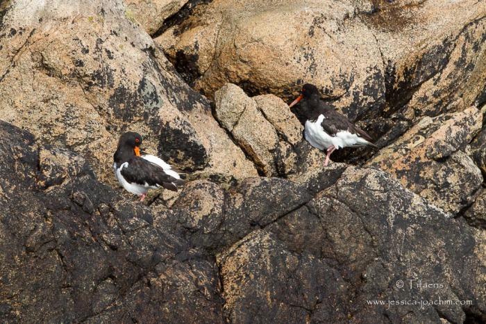 Huîtrier pie-Bretagne, Archipel des 7 îles, 12.08.2014