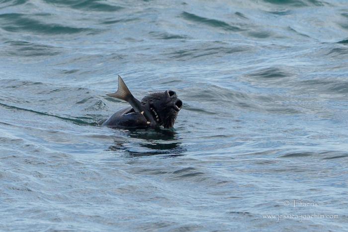Phoque gris-Bretagne, Le Conquet, 15.08.2014