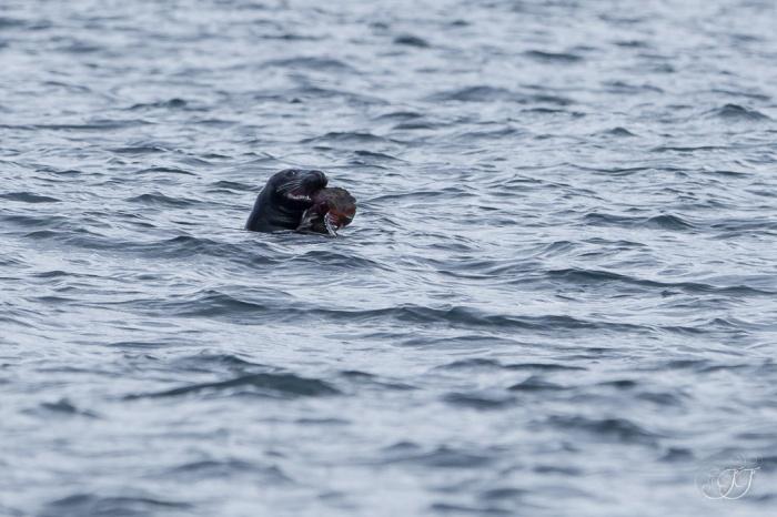 Phoque gris-Berlevåg 08.08.2016