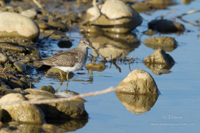 Bécasseau de Temminck-Domaine des oiseaux 26.10.2014
