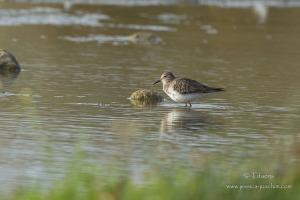 Bécasseau de Temminck-Domaine des oiseaux 19.10.2014