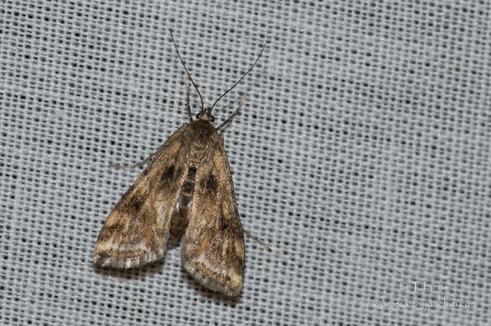 Cataclysta lemnata ♀-Mazères 05 juillet 2014