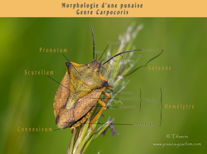 Morphologie punaise