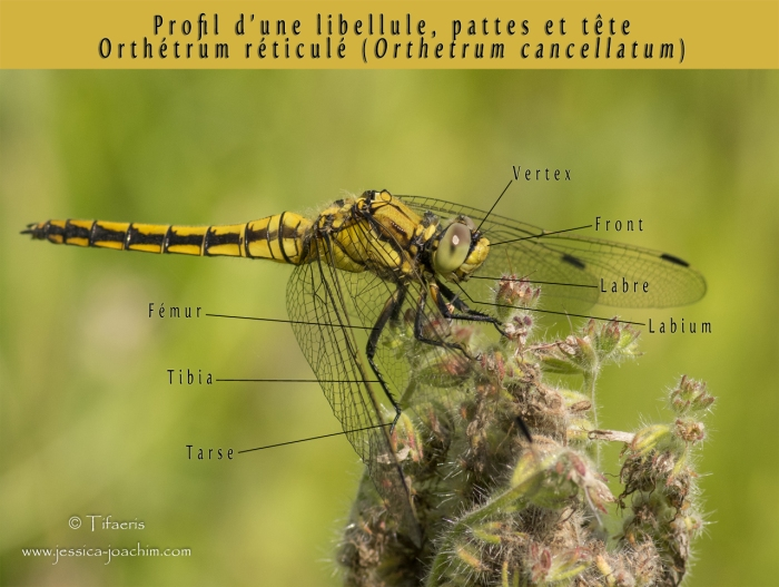Profil libellule pattes et têtes