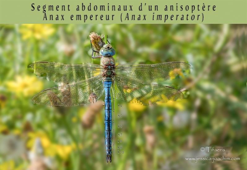 Segment abdominaux anisoptère