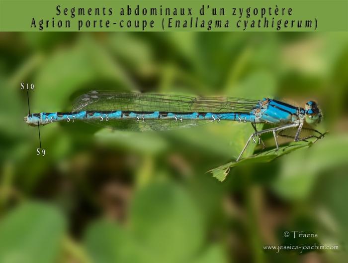 Segments libellules zygoptère