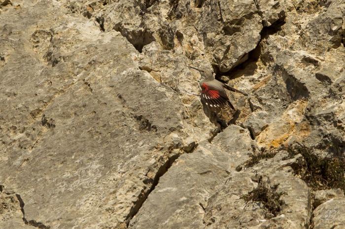 Tichodrome échelette-Ariège 20.12.215