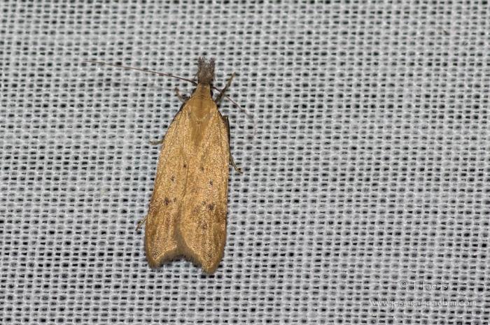 Dichomeris limosellus