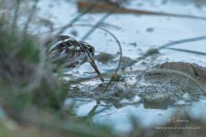 Bécassine sourde-Domaine des oiseaux 17.03.2015