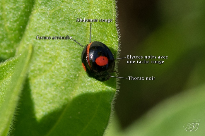 Chilocorus renipustulatus