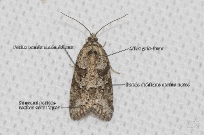 Cnephasia
