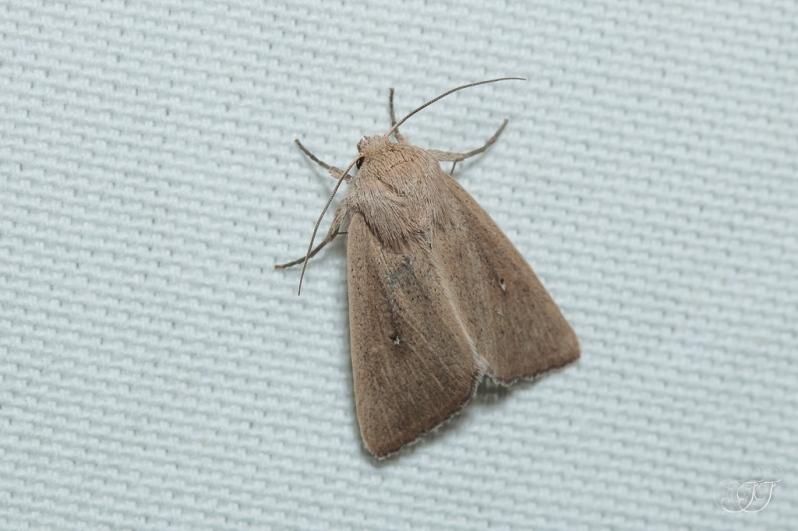 Mythimna sicula-alopecuri-Soirée papillons DDO 22.04.2016
