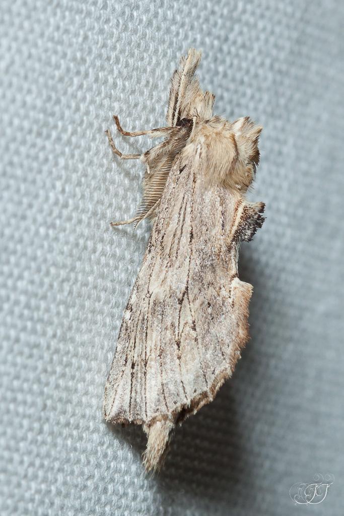 Pterostoma palpina-Soirée papillons DDO 22.04.2016