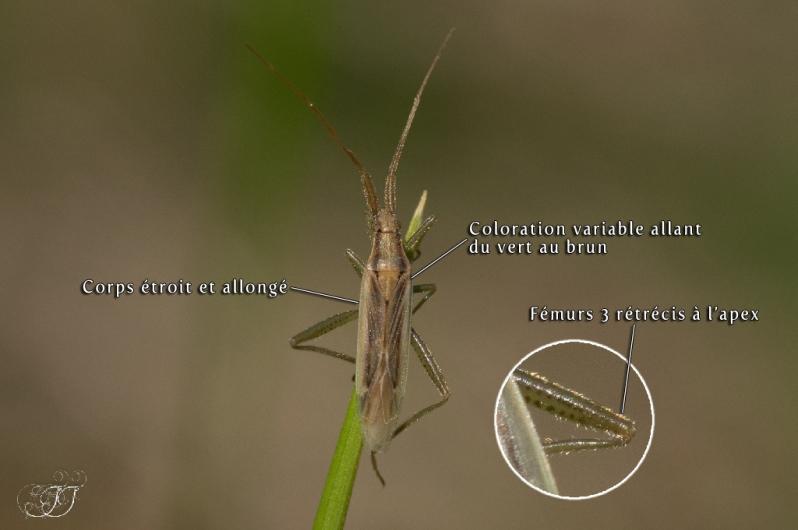 Stenodema laevigatum-Stenodema virens