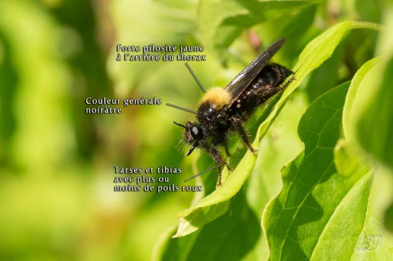 Laphria ephippium