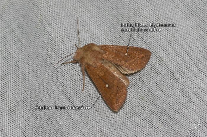 Mythimna albipuncta