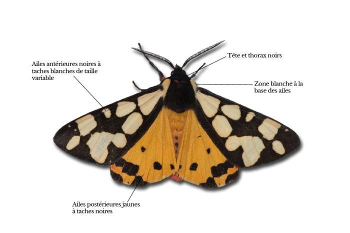 arctia-villica