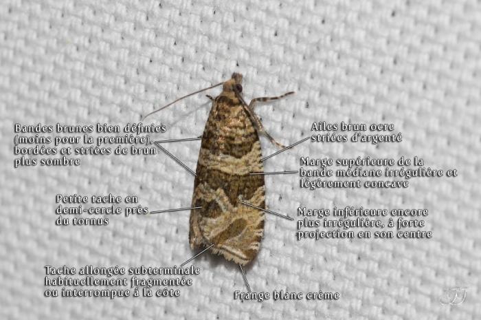 Celypha rivulana