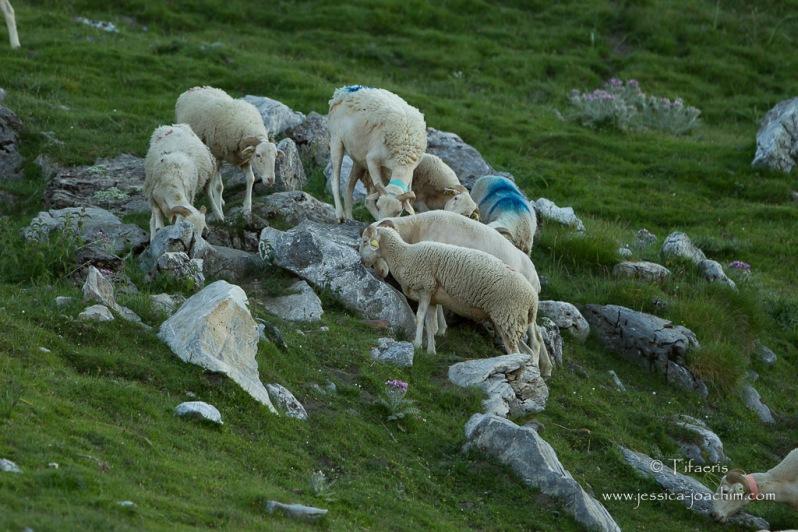 Moutons-Col du Tourmalet 29.06.2015