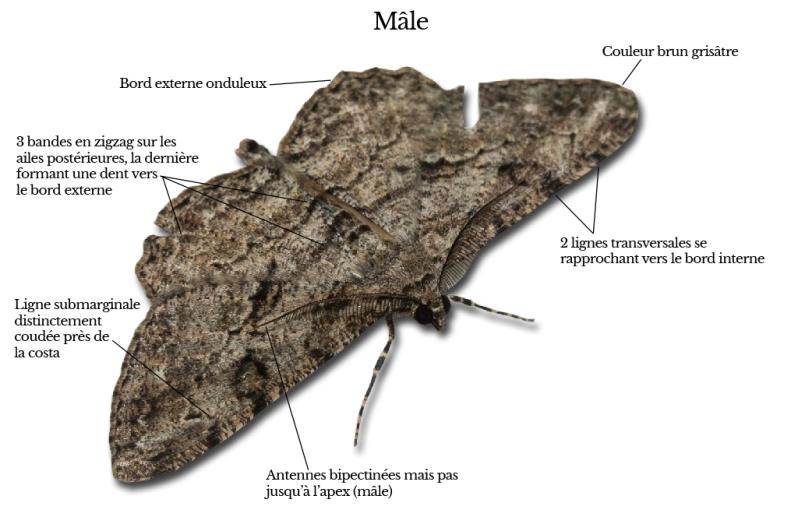 peribatodes-rhomboidaria