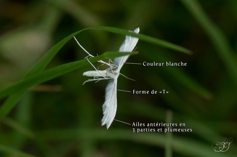 Pterophorus pentadactylus